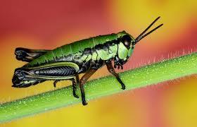 Katydids, Cicadas, Crickets,Grasshoppers