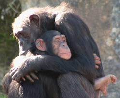 chimps hugging