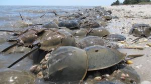 Horseshoe crabs, after half a billion years, still crowd the beach. (delaware-surf-fishing.com)