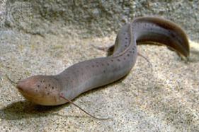 lungfish (media-web.britannica.com)
