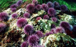 Purple sea urchins move around and intermingle, making them good candidates for genetic changes that will help them tolerate the ocean's rising acidity.  (telegraph.co.uk)