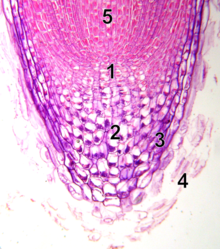 In this root tip, the number 1 marks the relatively unstructured stem cells in the meristem. (Wikipedia)