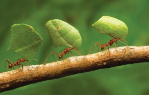 ants cooperating