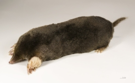 """""""Taupe,"""" French for mole (Wikipedia)"""