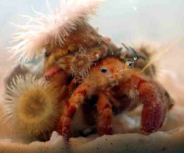 Hermit crab and anemone, protection in exchange for food (wonderopolis.org)
