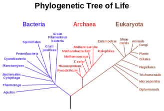 phylogenetic tree wikipedia