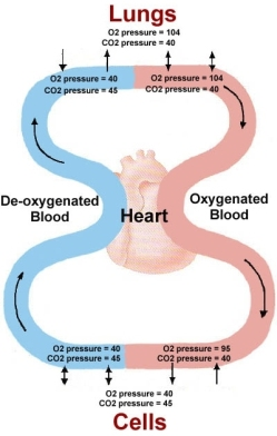 oxygen cycle in breathing