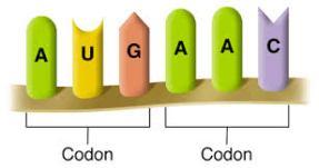 codons