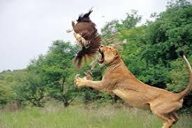 lion (texasgateway.org)
